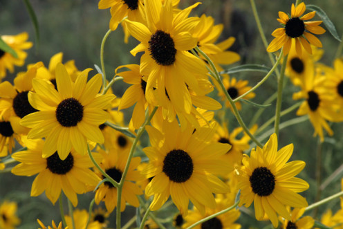 Puzzle or Pecos Sunflower, an endangered native plant pollinated by dragonflies.