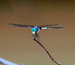 Dragonfly Festivals In America