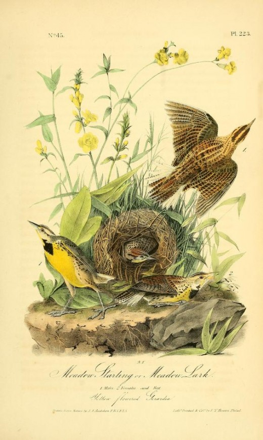 From Birds of America-John James Audubon