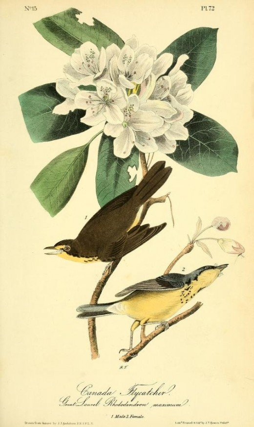 From the book Birds of America -John James Audubon
