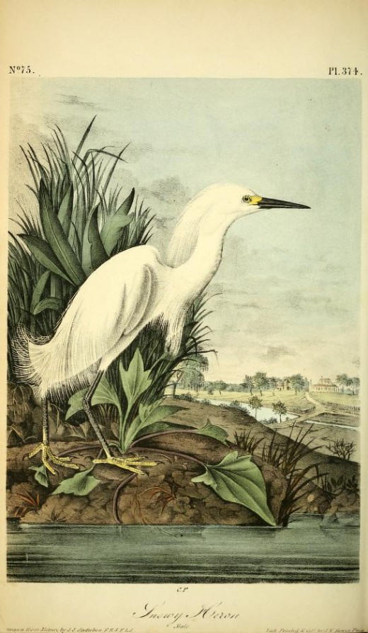 From Birds of America by John James Audubon