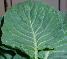 Fresh collard greens picked from the garden!