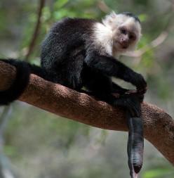 Wild Capuchin monkey in Costa Rica.