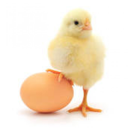 genetic modifications are passed down from chicken to eggs and chicks