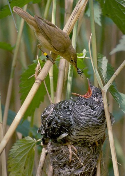 A reed warbler feeding a cuckoo chick that was left in its nest.  You would think the warbler would notice its baby is much bigger than it is!
