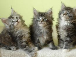 Cute Coon Kittens