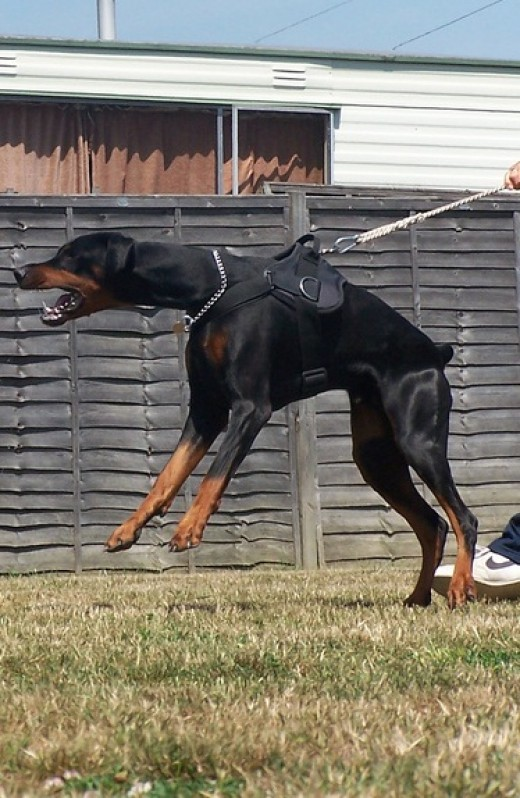 Doberman Pinschers were developed for personal protection.