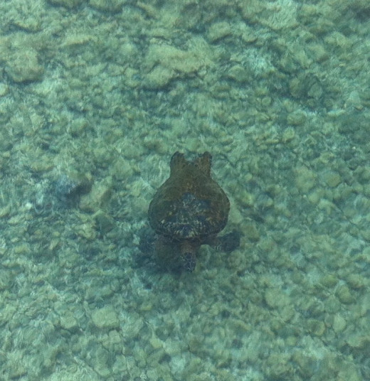 HONU--Hawaiian for Green Sea Turtle