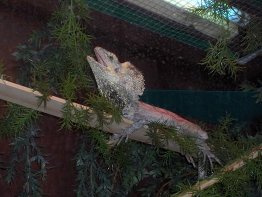 Frilled Dragon Enclosure