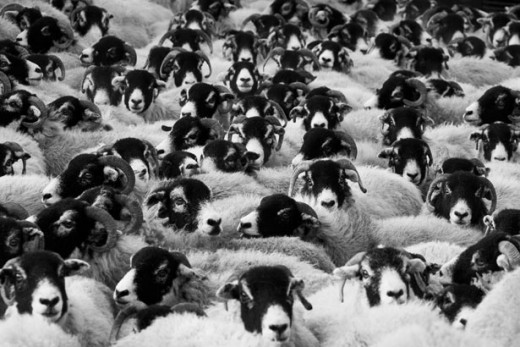 Photo by Peter Kratochvil, Title: Flock of Sheep http://www.publicdomainpictures.net/view-image.php?image=11689&picture=flock-of-sheep