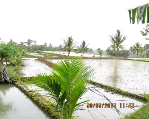 The rice fields are soaked prior to planting season.