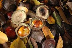 Jengkol (Archidendron pauciflorum)