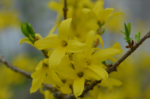One of my very favorite and brightest early in spring is the lovely forsythia shrub.  They come back year after year.