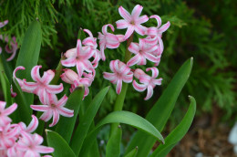The pretty and bright pink hyacinth, that come back year after year without fail.