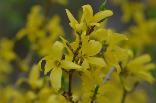 I love to see the forsythia bloom.