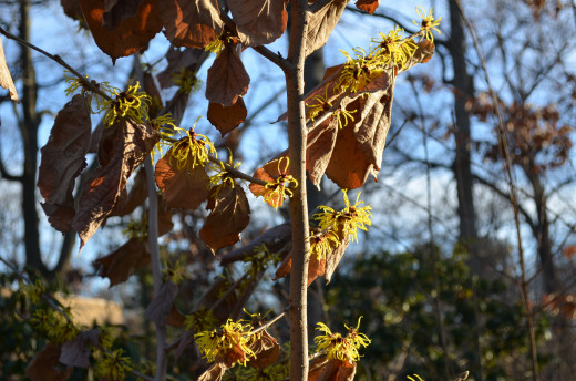 The witch hazel comes very early.
