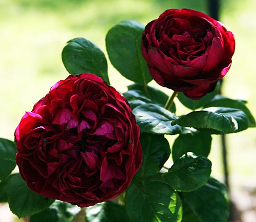 Rouge Royal