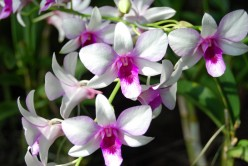 Benefits of Orchids and how to properly take care of them