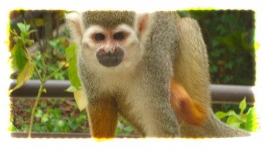 A Squirrel Monkey at the Squirrel Monkey Rainforest enclosure