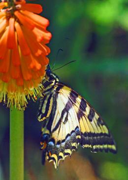 Yellow Swallowtail enjoying nectar on a Red Hot Poker