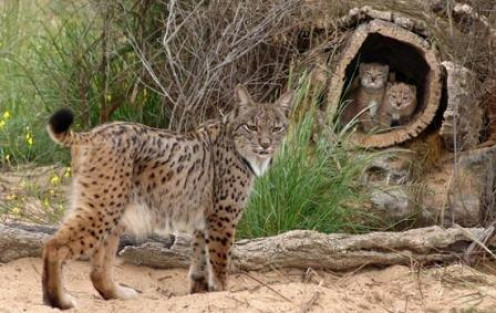 The Iberian Lynx Mother