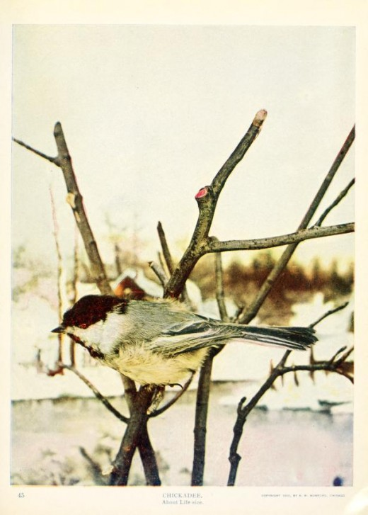 Birds and nature in Natural colours {1913-1914}