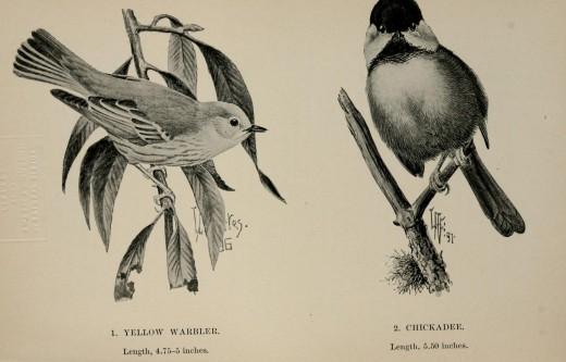Louis Agassiz Fuertes  {Bird-craft} !897}
