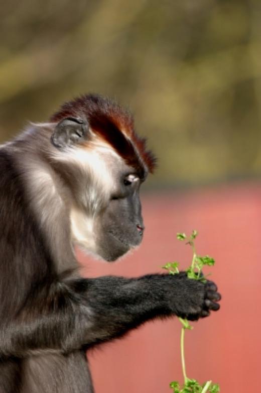 A Gelada baboon