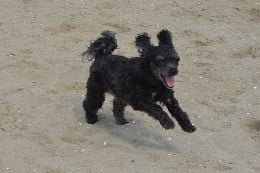 Oliver loves running in the sand and feeling the sand around his paws.