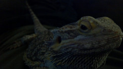 Bearded-Dragon Pet Care