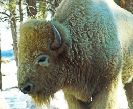 Majestic White Buffalo, also known as the American White Bison