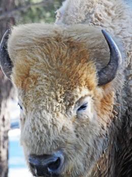 White Buffalo portrait