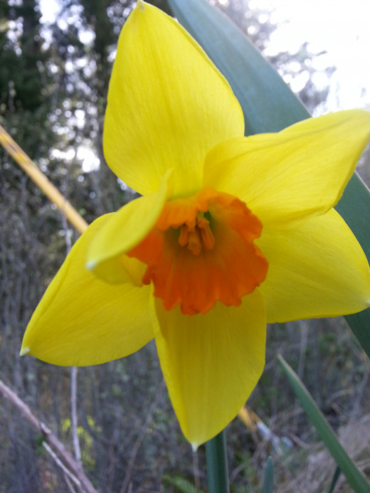 A daffodil on the trail in the wild.
