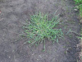 Treating a lawn with crabgrass control fertilizer