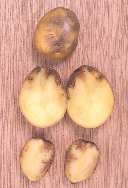 Potatoes infected with Blight.