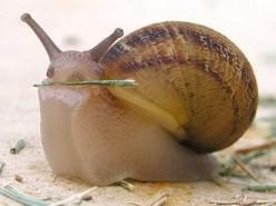 Giant snails, pest or pets?