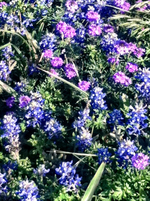 Varied colors of bluebonnets, the new rage.