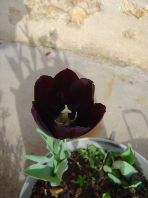 This photo is exactly as I took it - not changed on the computer at all. Although these tulips are a deep burgundy from the outside, look inside and you'll see how black the centre is.