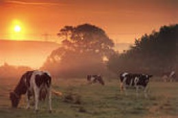 Dairy cows grazing somewhere in the heartland at dawn.