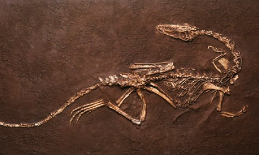 Fossil of Coelophysis with the baby seen inside the stomach area