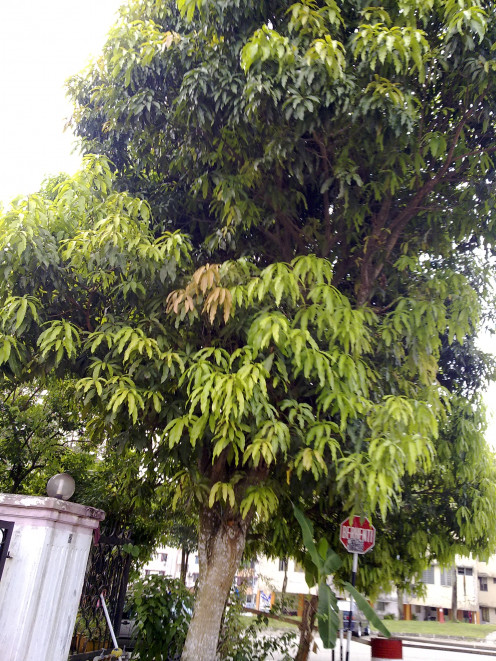 See how tall is that mango tree?