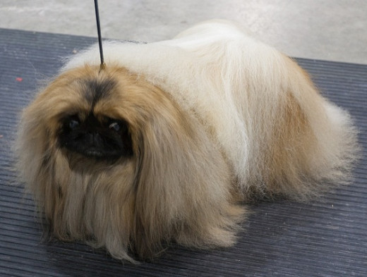 Were Pekingese really a combination of a lion and a monkey?