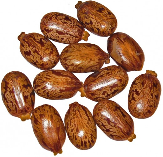 Castor oil plant seeds which produce ricin