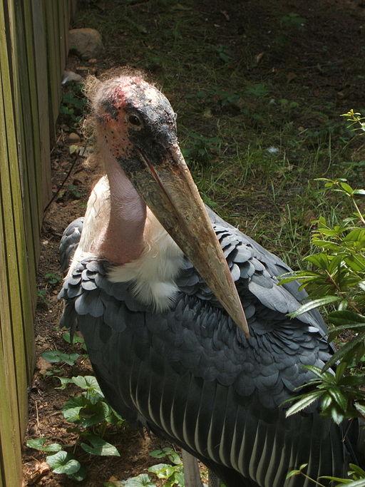 Marabou stork close-up