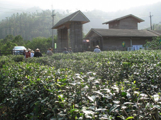 Picking the leaves - tea plantation -Jhongshan