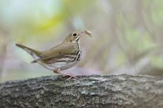 Wrens eat tons of bugs!