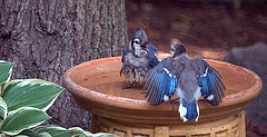 Blue Jays in the Bird Bath