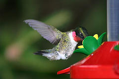 Male Ruby-Throated Hummingbird enjoying nectar.