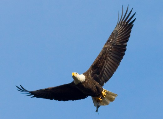 A Bald Eagle soars through the sky with a fish in its talons.