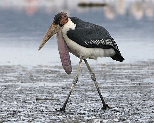 Marabou stork with neck pouch